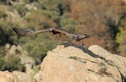 鹫采取在草甸的飞行 图库摄影