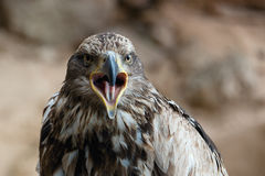 鹫额嘴的画象是开放的 图库摄影