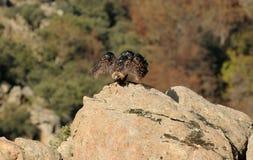 鹫飞行在树的岩石外面 免版税库存照片