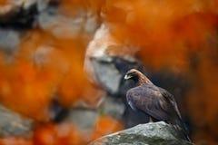 鹫,天鹰座chrysaetos,在岩石石头山 与鸟的秋天橙色事假场面 老鹰在natura栖所 Wi 图库摄影