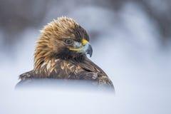 鹫,天鹰座chrysaetos 在雪的一张画象 免版税库存图片