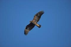 鹫,天鹰座chrysaetos 库存图片