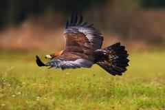 鹫,飞行在开花的草甸上,棕色鸷与大翼展,挪威的 库存图片