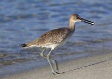 滨鹬赛跑在与他的沙蚤抓住的海滩下 图库摄影