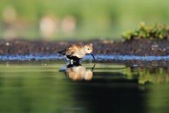滨鹬Calidris alpina 免版税库存图片