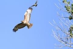 鹰和朋友 免版税库存图片