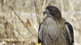 鹰和森林 库存照片