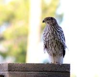 鹰在坦佩,亚利桑那 免版税库存图片