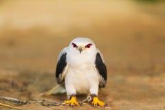 鹰在寻找的鸟培训学校和保护工厂和房子免受屎是医疗保健 图库摄影