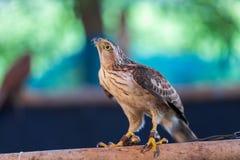 鹰在寻找的鸟培训学校和保护工厂和房子免受屎是医疗保健 免版税图库摄影