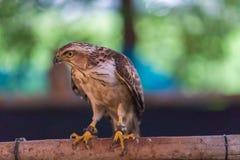 鹰在寻找的鸟培训学校和保护工厂和房子免受屎是医疗保健 库存照片