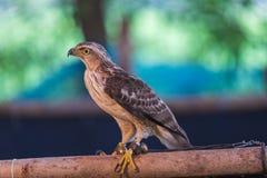鹰在寻找的鸟培训学校和保护工厂和房子免受屎是医疗保健 免版税库存照片