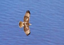 鹰在飞行中在哈得逊河 库存照片