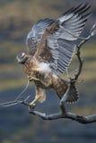 鹰烘干它的在一个分支的翼在巴塔哥尼亚 免版税图库摄影