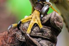 鹰爪和发射机在手套 免版税库存照片