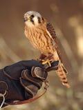 以鹰狩猎者举行的美国茶隼 库存照片