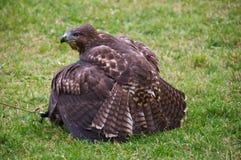 鹰狩猎被盯梢的兔子红色 免版税库存图片