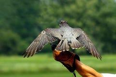 鹰狩猎 免版税图库摄影