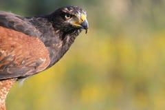 鹰狩猎 免版税库存照片