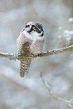 鹰猫头鹰坐分支在与雪剥落的冬天期间 冷的冬天,有猫头鹰的多雪的森林 免版税库存照片