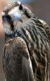 鹰的纵向 免版税库存图片