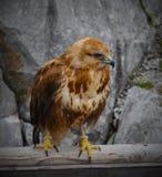 鹰的纵向 免版税图库摄影