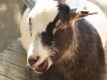 鹰眼的山羊的 库存图片