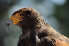 鹰眼睛 库存照片