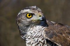 鹰类北gentilis的苍鹰 免版税库存图片