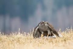 鹰类 免版税库存照片