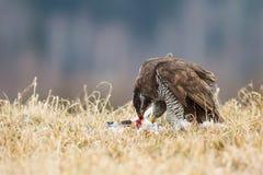 鹰类 免版税图库摄影