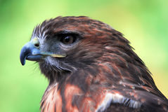 鹰类gentilis苍鹰 免版税图库摄影