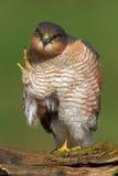 鹰类nisus sparrowhawk 库存照片