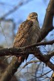 鹰红色尾标 库存照片