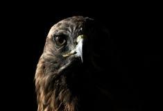 鹰红色盯梢了 图库摄影
