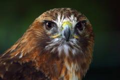 鹰红色盯梢了 免版税图库摄影