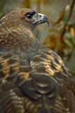 鹰红色端被盯梢的视图 库存照片