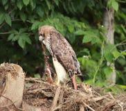 鹰红色被盯梢的佛蒙特 库存图片