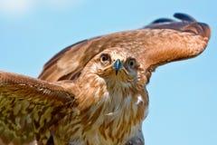 鹰纵向 库存照片