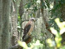鹰结构树 库存图片