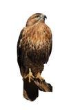 鹰老鹰被隔绝在白色 库存图片