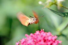 鹰蜂鸟macroglossum飞蛾stellatarum 免版税库存图片