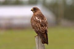 鹰被栖息的s swainson 库存图片
