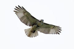 鹰被盯梢的查出的红色 库存照片