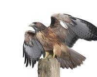 鹰被盯梢的查出的红色 免版税库存照片