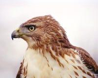 鹰被盯梢的配置文件红色 库存图片