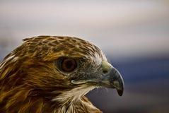 鹰被盯梢的配置文件红色 免版税图库摄影