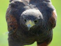 鹰面孔 免版税库存图片