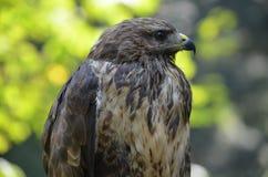 鹰鸟自然狂放的自然 免版税库存图片