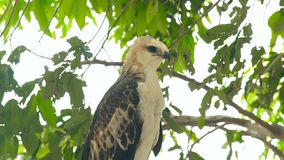 鹰鸷在绿色树枝关闭的蛇老鹰 在狂放的自然的掠食性鸟 鸟类学,鸟的监视人 股票录像